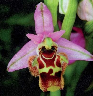 Ophrys tili